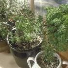 10 Best Herbs for Indoors A windowsill kitchen garden: Grow great-tasting herbs indoors.