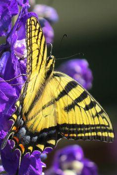 elus butterfli, papillon, butterfli share, swallowtail, delight butterfli