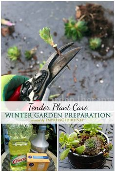 Winter Garden Preparation: The Care and Keeping of Tender Plants | empressofdirt.net
