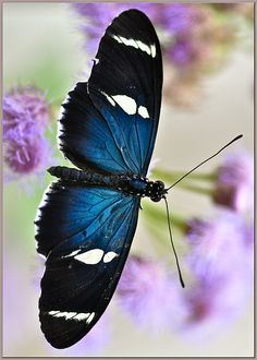 ara Longwing Butterfly (Heliconius sara) by davolly59