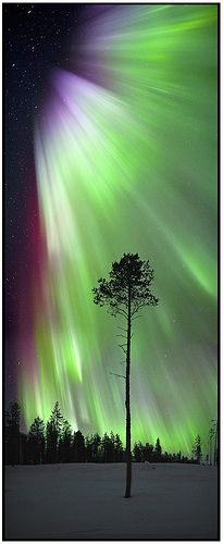 Aurora Borealis and a tree...
