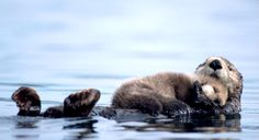 Otters hold each others hands while sleeping so that they don't drift apart♥