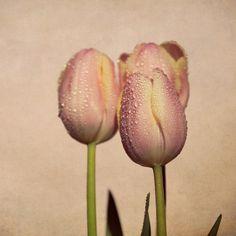 raindrops on subtle pink tulips