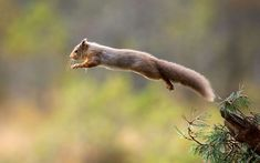 A leaping red squirrel is snapped by photographer Drew Buckley in the Cairngorms National Park in Scotland