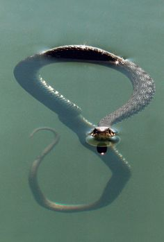 National Geographic don't know if it's venomous of not but cool pic