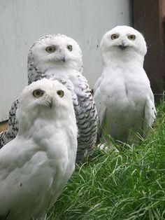 3 Snowy Owls. <3