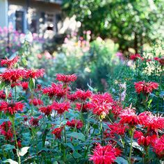Bee Balm, zone 3-9, 3 ft tall and wide, full sun to part shade. and deer and rabbits largely leave it alone
