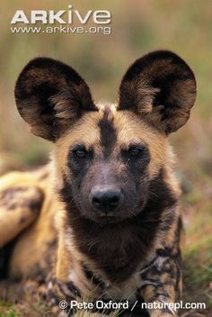 Endangered Species of the Week:  African wild dog (Lycaon pictus)