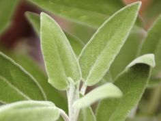 Follow these steps to properly dry out your herbs --> http://hg.tv/pzhu plant, home grown, drying herbs, dri herb, herb garden, garden herb, herbs garden, sage salvia, common sage