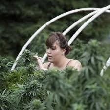#Smoke #marijuana #bud #plants #Blaze1 #MaryJane #joints #bongs #blunts #pipes #cannabis #sativa #kush #Hash http://hdweedwallpapers.com/ #weedplant #bud #skunk #weed