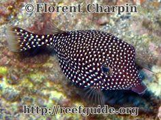 Spotted Boxfish, female (Ostracion meleagris)