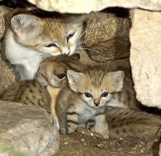 Sand Cat Kittens and Mom. <3