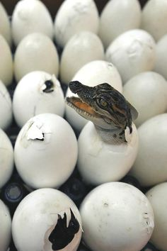anim, alligator, crocodile egg