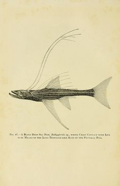 Bathypterois sp. whose chief contact with life is by means of the long tentacle like rays of the pectoral fins  New York :Putnam,1926.