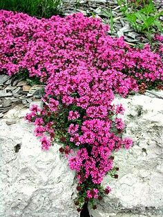 Creeping Thyme Ground Cover:  Prefers full sun but will tolerate partiant shade.  Fragrant and evergreen.  Drought tolerant and spreads quickly.
