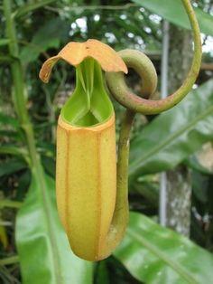 Biggest Carnivorous Plants