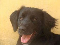 BRAZIL il a 2 ans et demi , très proche de l'humain il saura vous combler de bonheur , il est joyeux , sociable et obéissant .Il est pucé et vacciné   Un gite une gamelle (Pyrénées-Orientales)