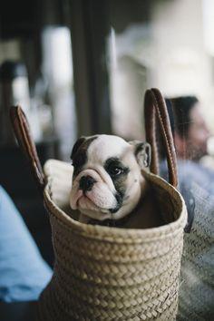 bulldog puppy in a basket #dogs #pets #animals #english #bulldog #best #puppy