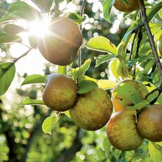 An organic guide to heirloom apples - includes a list of heirloom apple varieties and some recipes | Organic Gardening
