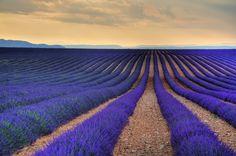 Sea of Lavender - Provence, France