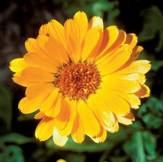 Grow Calendula for a