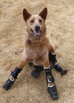 Meet Naki'o, the first pup with four prosthetic limbs. - Naki'o was found abandoned as a puppy in a foreclosed home. His little feet were frozen in a puddle of water