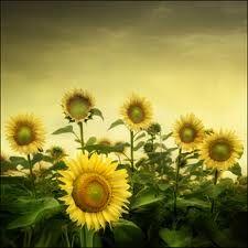 Bulgarian sunflowers.