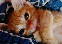 ginger kitten love