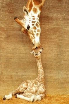 a kiss, first kiss, mother, pet, giraff, baby animals, animal babies, sweet kisses, babies rooms