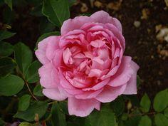 David Austin Rose 'The Herbalist'