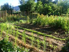 Bientôt les premières récoltes / Soon the first picking