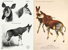 Sir Harry Johnston's Drawings of early okapis la illustració, drawings, natural history, illustració científica, art, okapi, toes