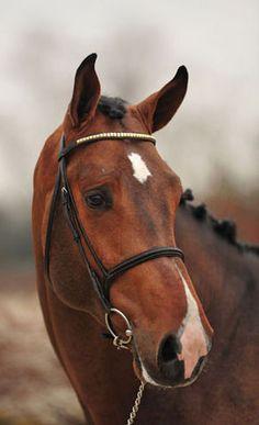 Dutch Warmblood Stallion - Arizona