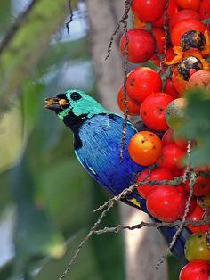 Aquamarine Tanager | Pintor-verdadeiro - seven-colored Tanager (tangara fastuosa)