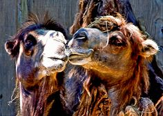"Kissing Camels by Mark Cox. ""Hey, good looking."" Our photographs are printed at a professional lab on archival-quality acid-free paper in your choice of a glossy or matte finish.   8""x10"" at $20.00 and 5""x7"" at $10.00 White Mat Available for Framing. On Artful Vision, www.artfulvision.com a portion of your purchase is donated to a participating non-profit of your choice. #art #prints #posters #camels  #gifts"