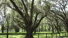 More Gainesville FL--Live oak trees  dripping with Spanish Moss!