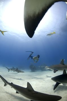 Free diving with Caribbean reef sharks. Freeport Bahamas.