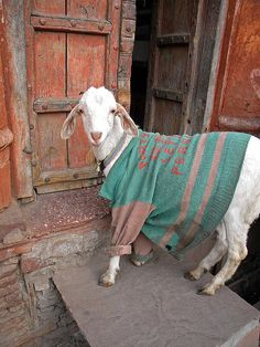 Goat in a coat, what's not to love? sweater, pet, goat, coat