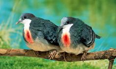 Bleeding heart pigeons-their 'bleeding hearts' are a sign of man's cruelty to animals