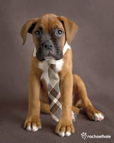 Regal (Boxer) - With his tie in place, Regal puts on his business face