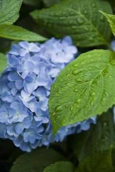 How to Grow Hydrangeas in Southern California