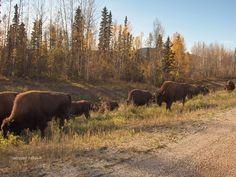Buffalo near Liard Hot Springs.
