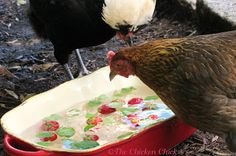 Frozen fruit, ice and fresh herbs can help chickens keep cool in high temperatures.