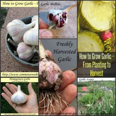 How to Grow Garlic – From Planting to Harvest