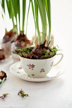 How to force bulbs to bloom for decorating indoors or gifting to another - printable directions and gorgeous photography!