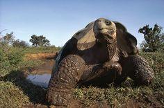 Giant tortoise in Galapagos Island.