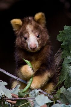 Tree kangaroo baby. Tree Kangaroos are awkward on the ground, but agile in the trees. They live up trees in the rain-forests of Australia and New Guinea. They climb by pushing themselves up the trunk with powerful hind legs. Photo by Evan Hambrick, Evan Animals on Flickr.