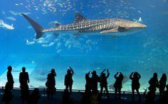 okinawa-churaumi-aquarium-shark-animal-japan