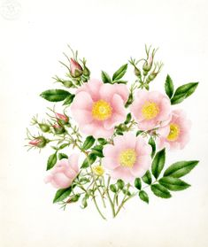 Harvard University Herbaria - Botany Libraries Archives Gray Herbaria Murdoch wild flowers drawing illustrations