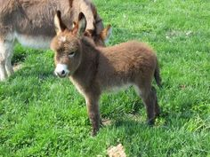 anim, pet, mini donkey, donkeys, minis